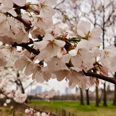 How to Enjoy the Cherry Blossoms in NY's Central Park
