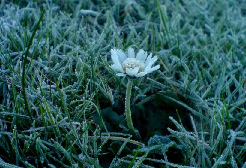 Frozen Daisy
