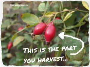 rose hips on bush