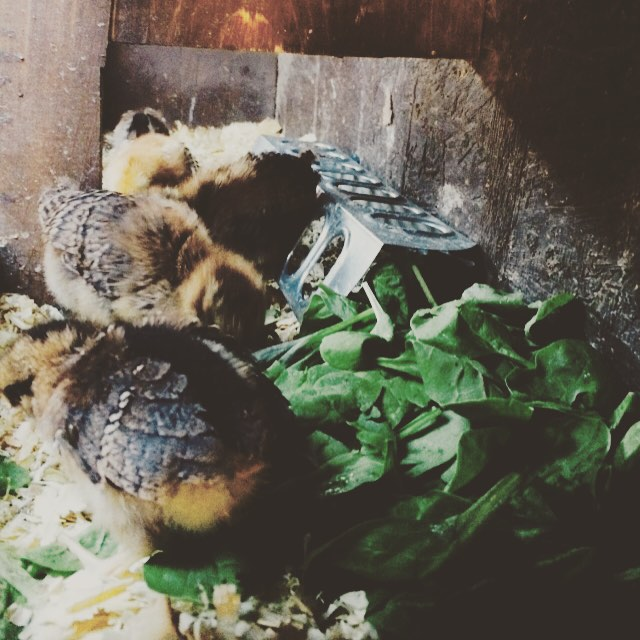 Baby chicks and spinach