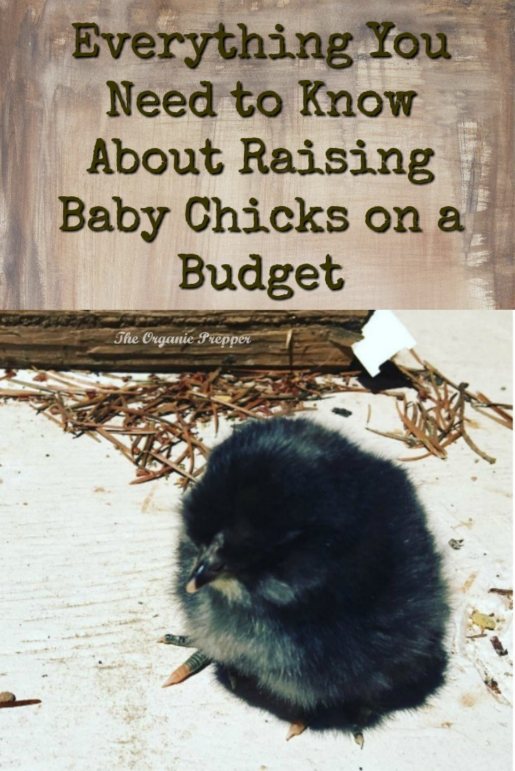 Want fresh eggs every day? Here\'s everything you need to know about getting started with raising baby chicks, even if you\'re on a budget.  | The Organic Prepper