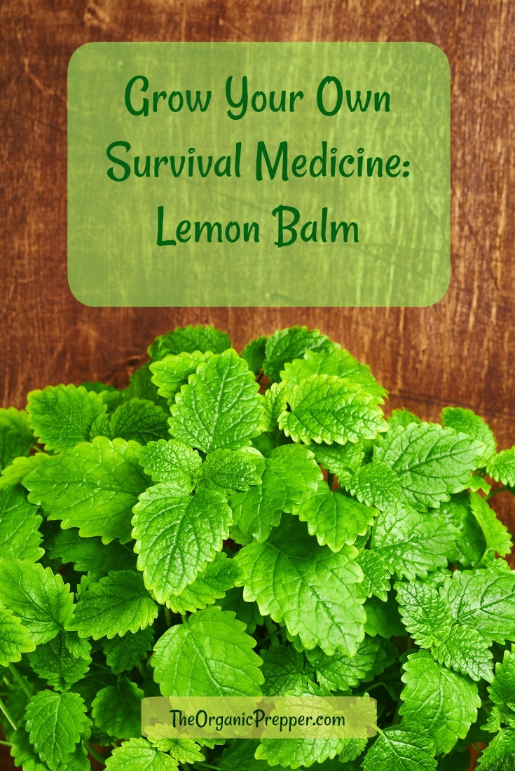 If you want something in your bag that has been used to calm folks down and also help break fevers, lemon balm is your survival herb.