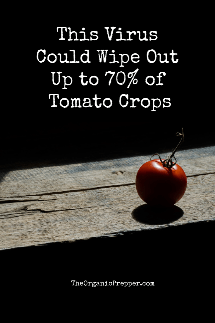 There is a highly contagious virus that is infecting tomatoes. Here\'s what you need to know.