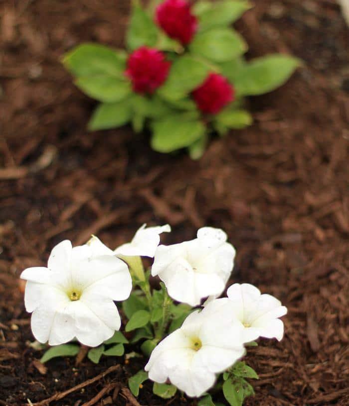 Gardening On A Budget - Petunia Flowers