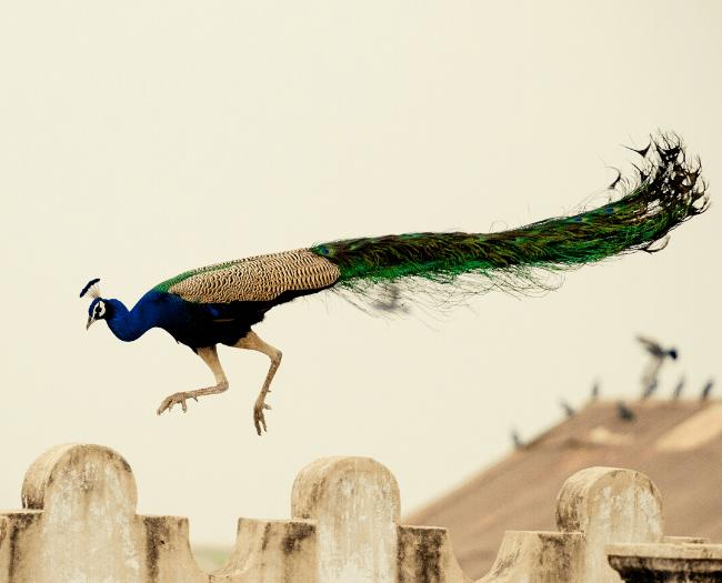 Mumbai witnessed Peacocks inside the city:  Positive effect of global lockdown