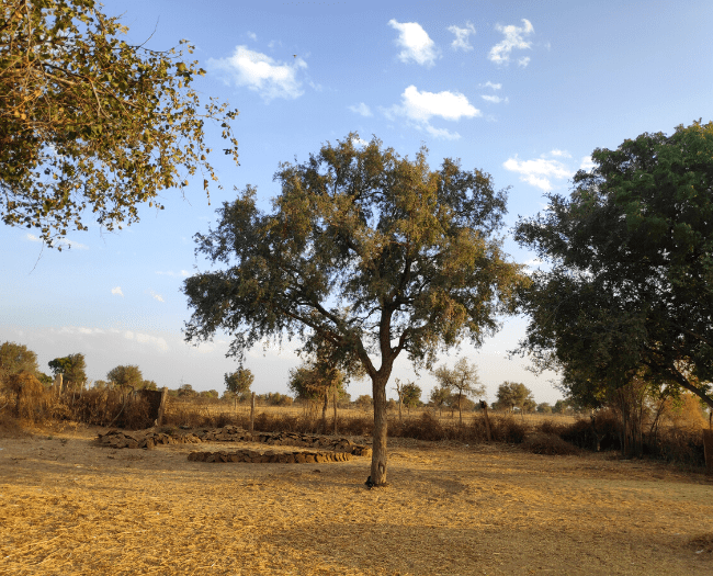 The Sacred Khejri Tree - Bishnoi community