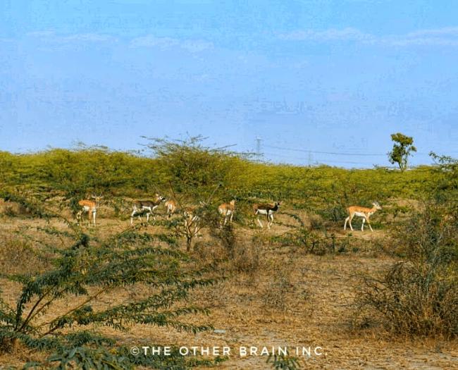 Sambhar deer & Black Buck  roaming unhindered in Bishnoi Land:  Bishnois of Rajasthan