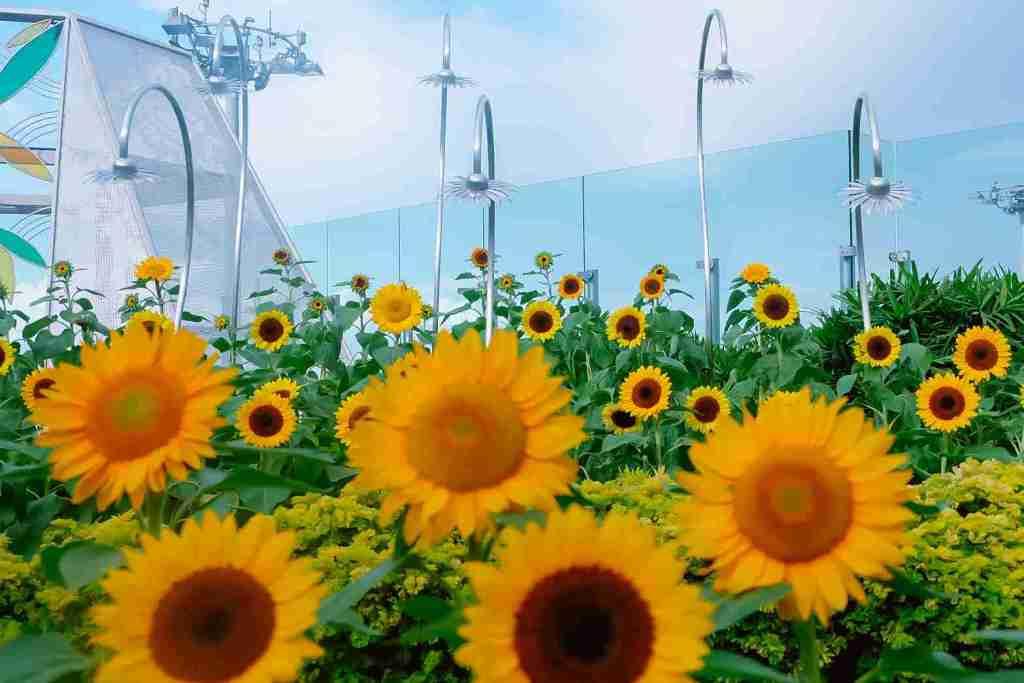 sunflowers garden in changi airport singapore