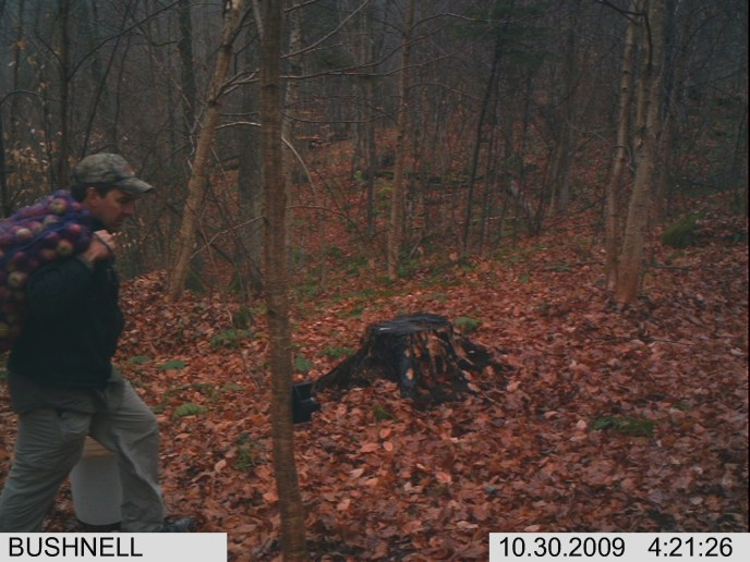 Putting out trailcam apples