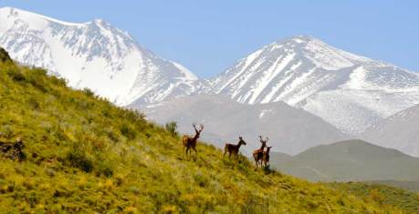 Deer on the mountain slopes