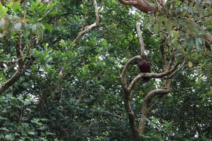 A Kaka hdiing in the foliage