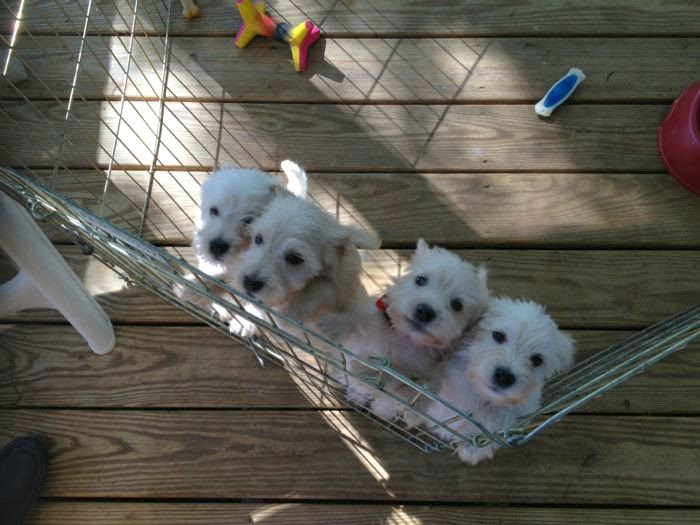 stuartpuppies