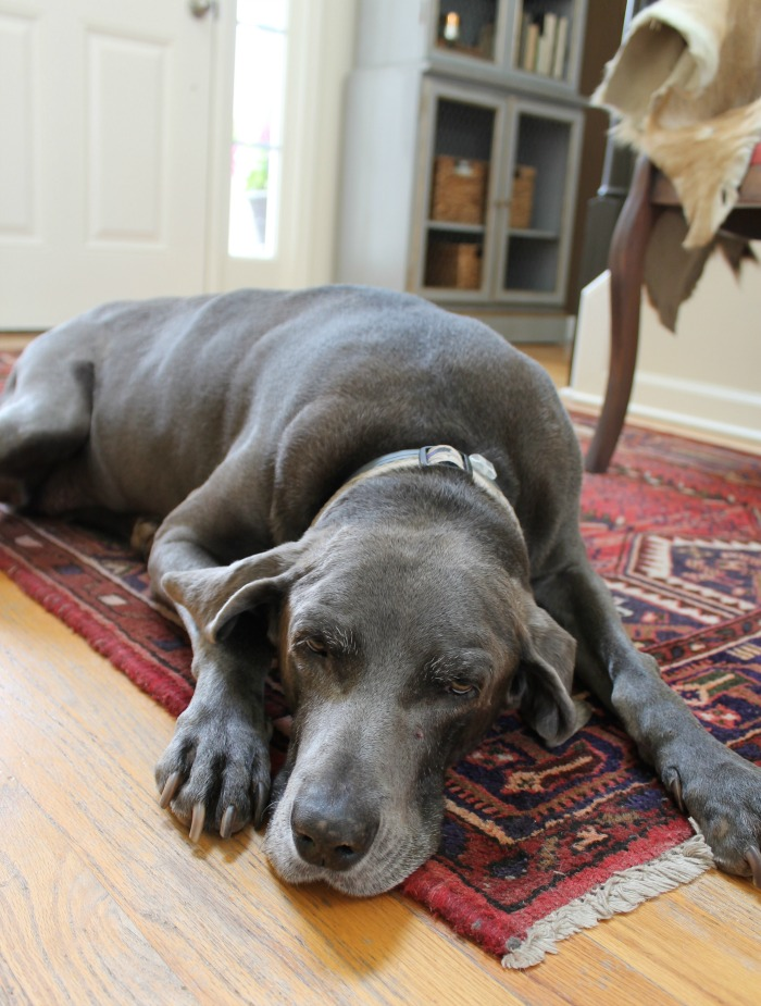 sadie-blue-weimaraner-the-painted-chandelier-blog