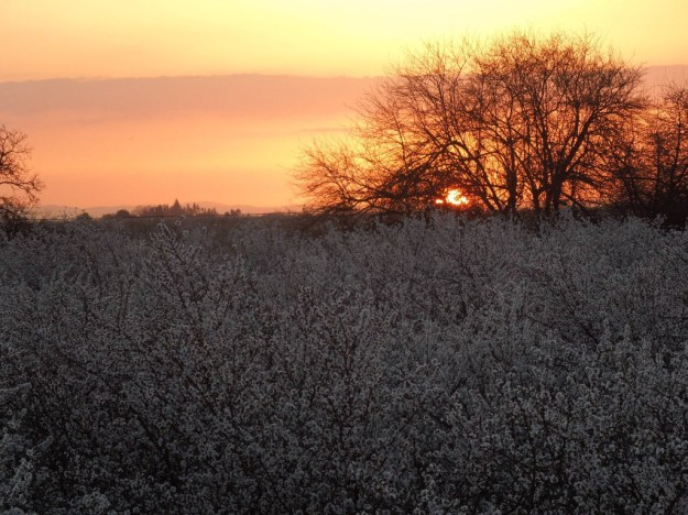 Almond Blossom Orchard at Sunset