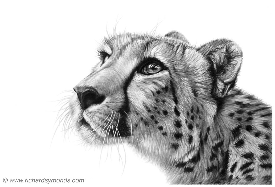 Richard Symonds Interview The Palette Pages - Stunning drawings of endangered wild animals by richard symonds