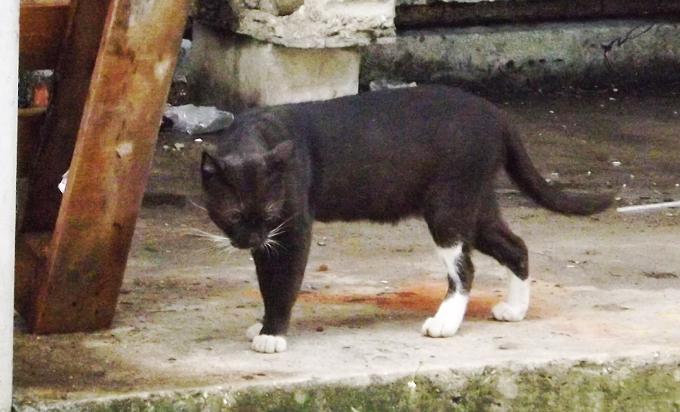 ferocious attack cat