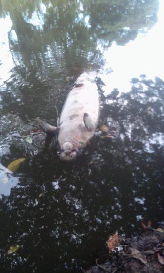 dead sea cow
