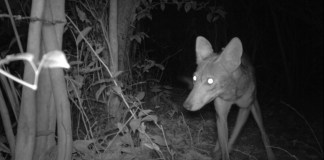 Kay's coyote