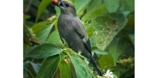 tanager cover