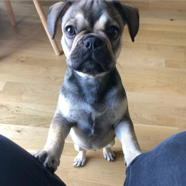 39 dogs mixed with pugs | the paws