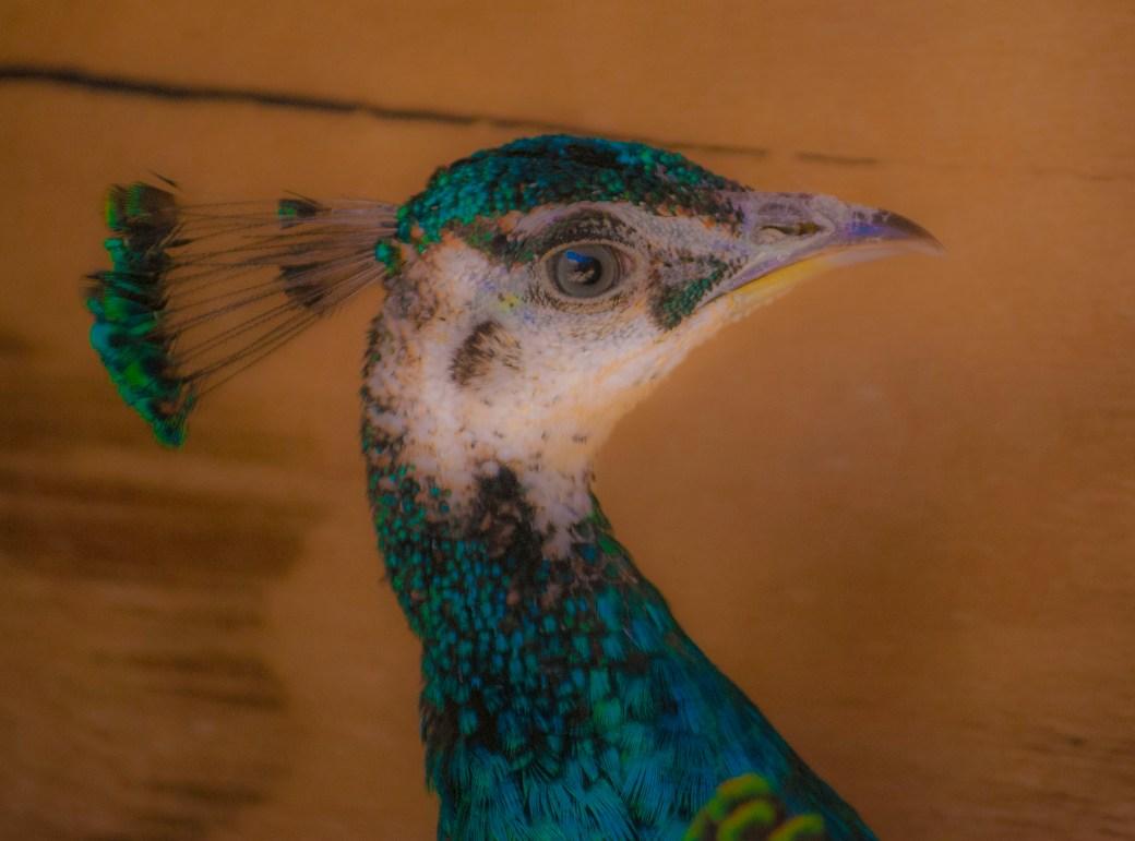 Peacock Dreaming