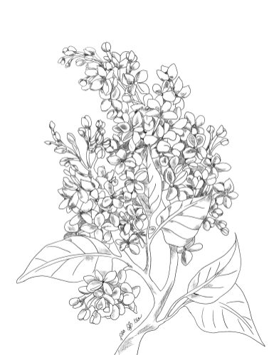Pencil sketch of a lilac bunch with leaves.
