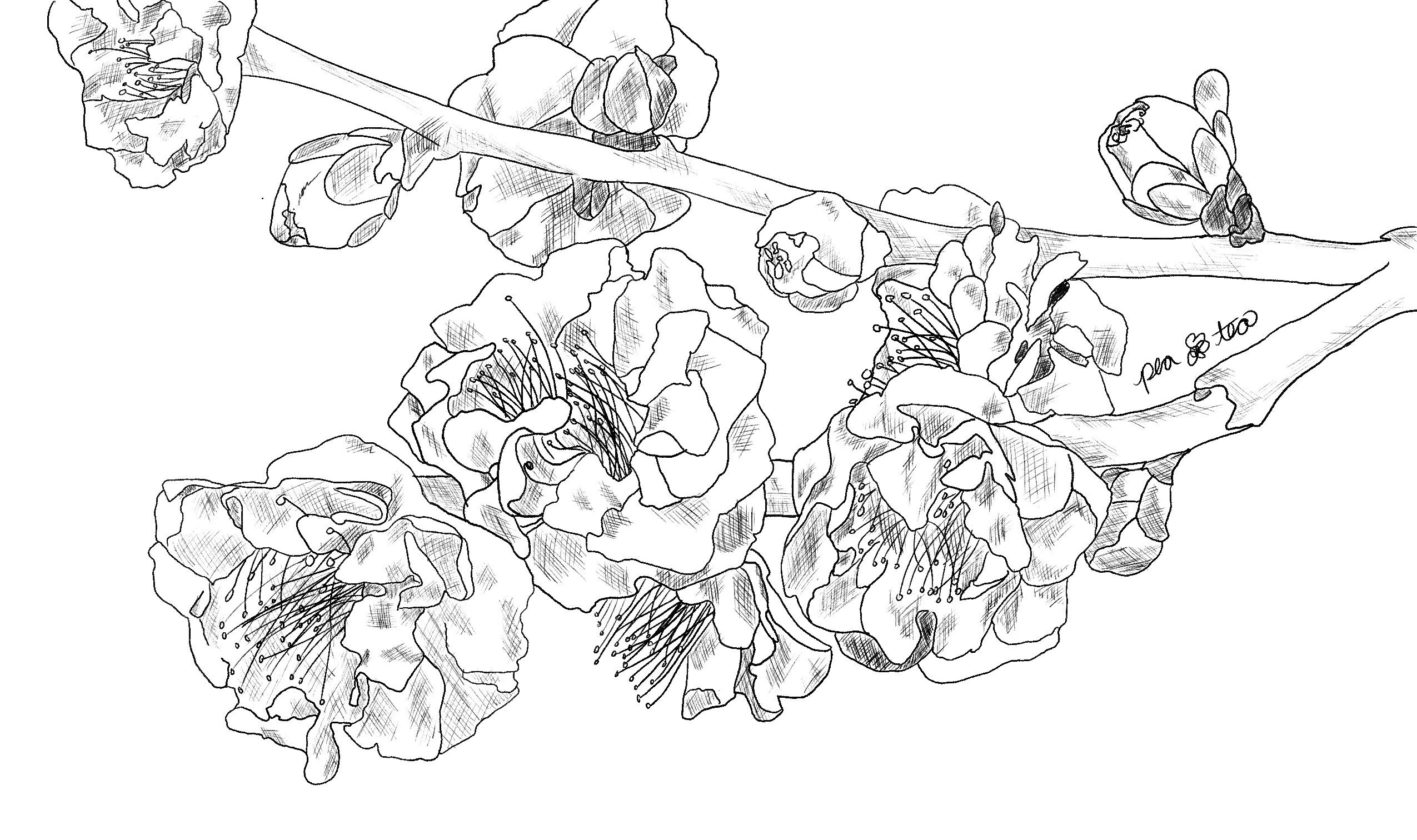 pencil sketch of blooming plum blossoms on a branch.