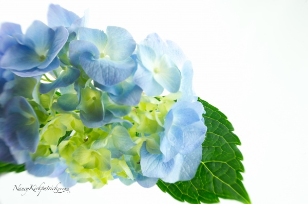 Hydrangea on White