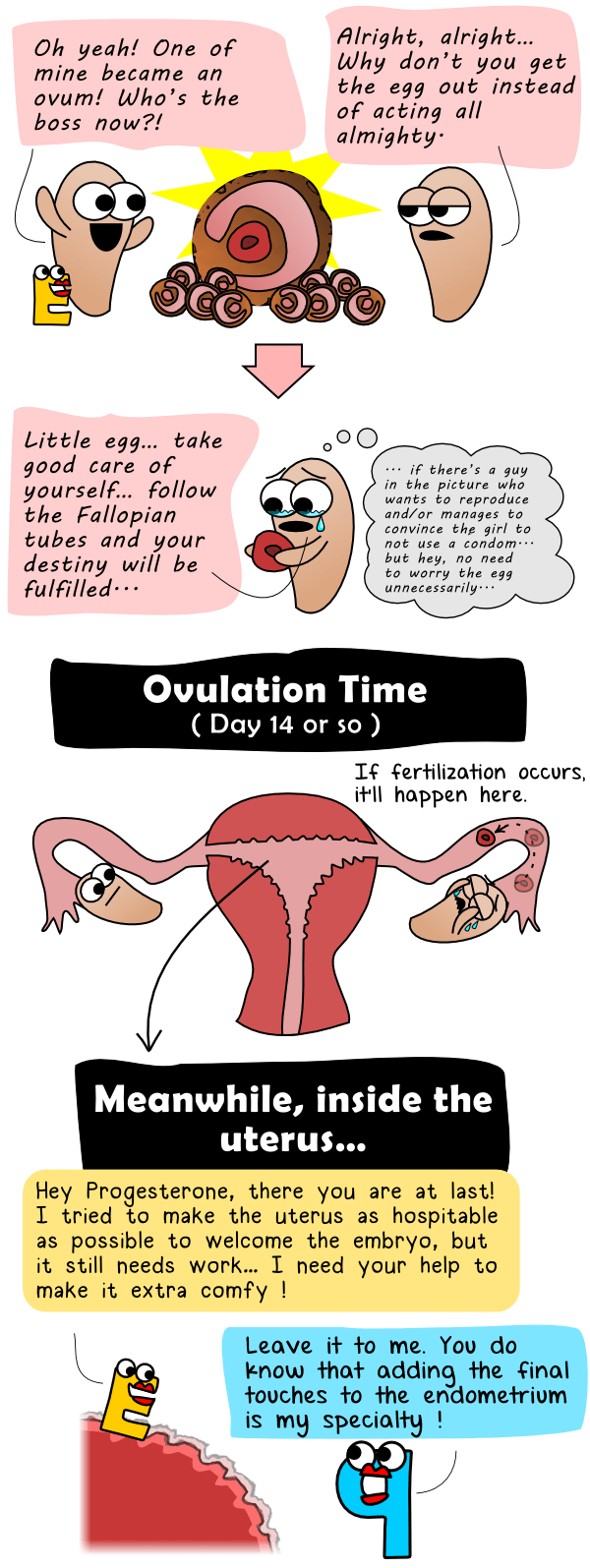 The ovum begins its journey and progesterone prepares the endometrium