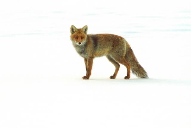 Umberto Nicoletti - Fox in the snow