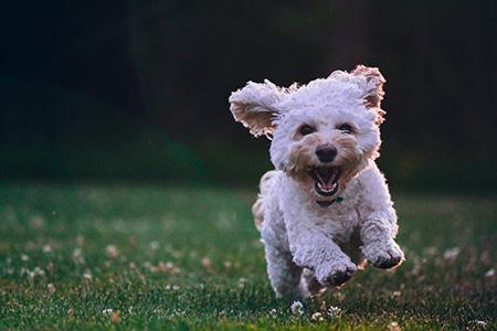 Pet-loving seniors will love this cute Shih Tzu Puppy!