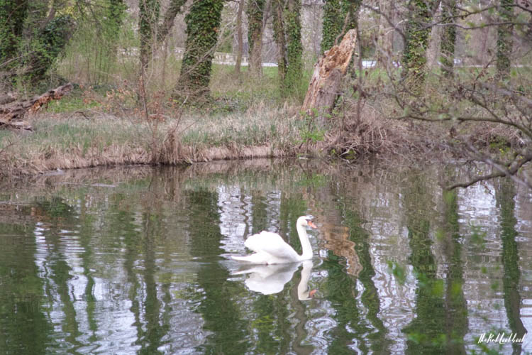 Laxenburg Swan Reflection