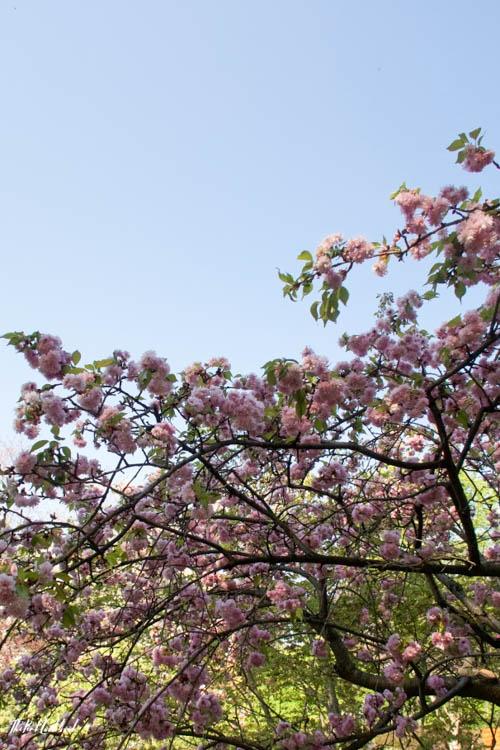 Setagaya Park Cherry Blossoms