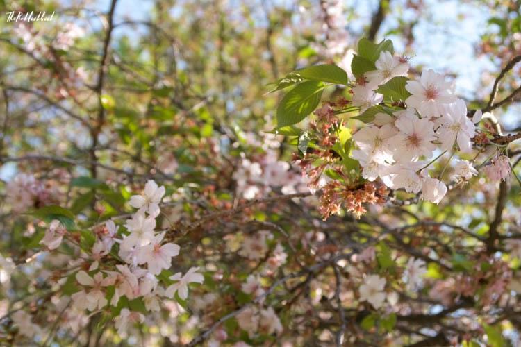 Setagaya Park White Cherry Blossoms