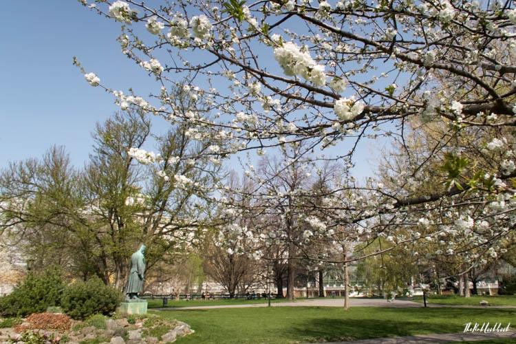 Vienna Spring Burggarten Cherry Blossoms