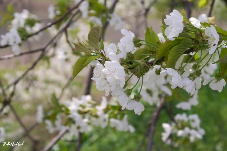 Interview Andrea Strohmayer Kirschengenussquelle Breitenbrunn Cherry Blossoms