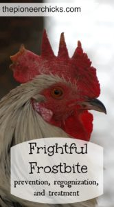 Frightful Frostbite- Learn how to prevent, regognize, and treat frostbite to help keep your flock healthy through the winter!