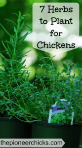 7 Herbs to Grow for Chickens- Herbs are very beneficial for both you and your flock! These seven herbs are easy to grow and most of them come up year after year!