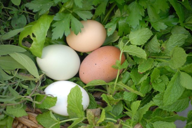 Natural Supplements for Molting- Giving your chickens added nutrients and protein during their molt will help them stay healthy and have a succesful molt!