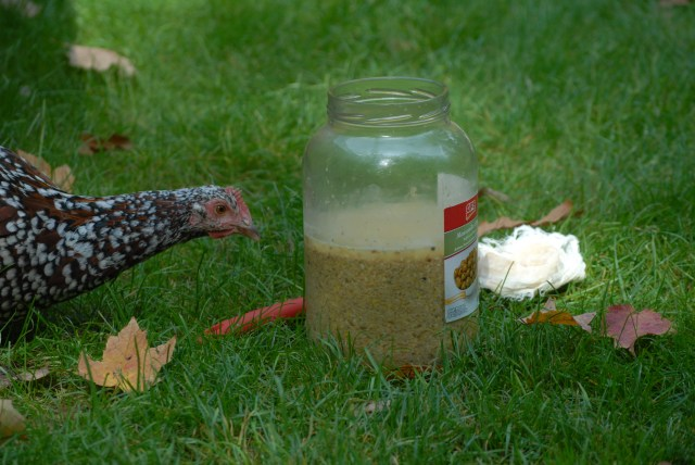 Making Homemade Fermented Chicken Feed- Fermenting your chicken's food is a great way to save money and boost it's nutrition value!