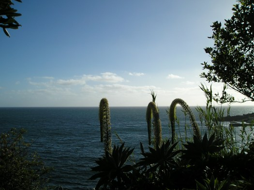 This photo shows the striking large flowers of Aloes over looking the sea.
