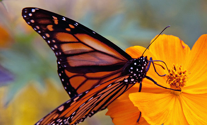 Monarch Butterfly Protection