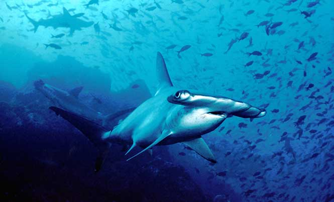 Sharks & Rays Cool Facts: The Hammerhead