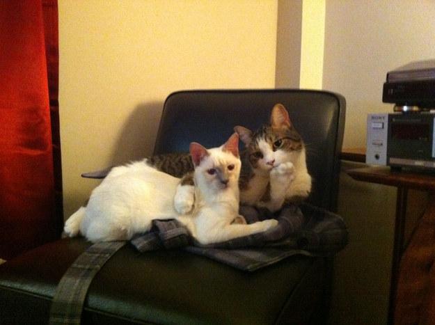 pisici-dragute