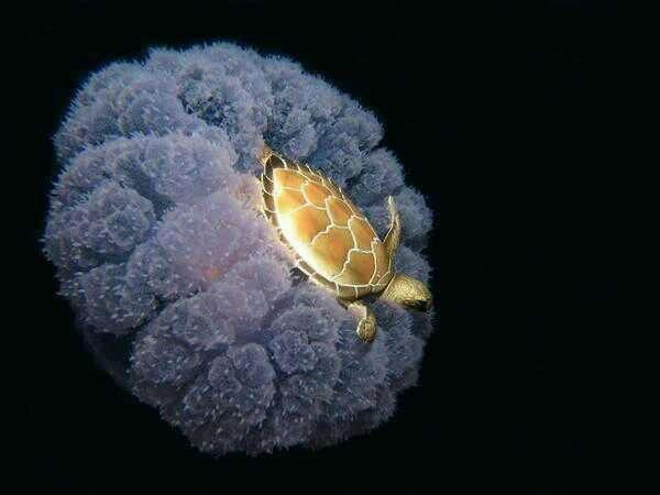 testoasa-pe-meduza