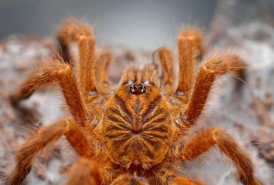15 cei mai înfricoșători păianjeni din lume