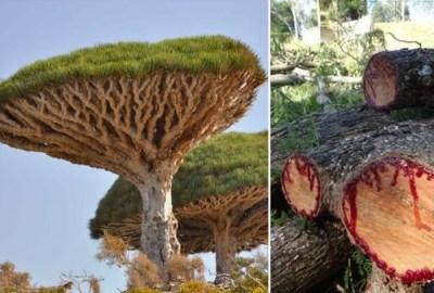 Sângele Dragonului (Croton Lechleri) un imunomodulator, cicatrizant pentru hemoroizi, boala Crohn, colită ulceroasă, etc.