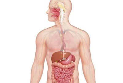Ce organe sunt în stânga corpului uman?