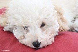 le 5 malattie più frequenti dei cani