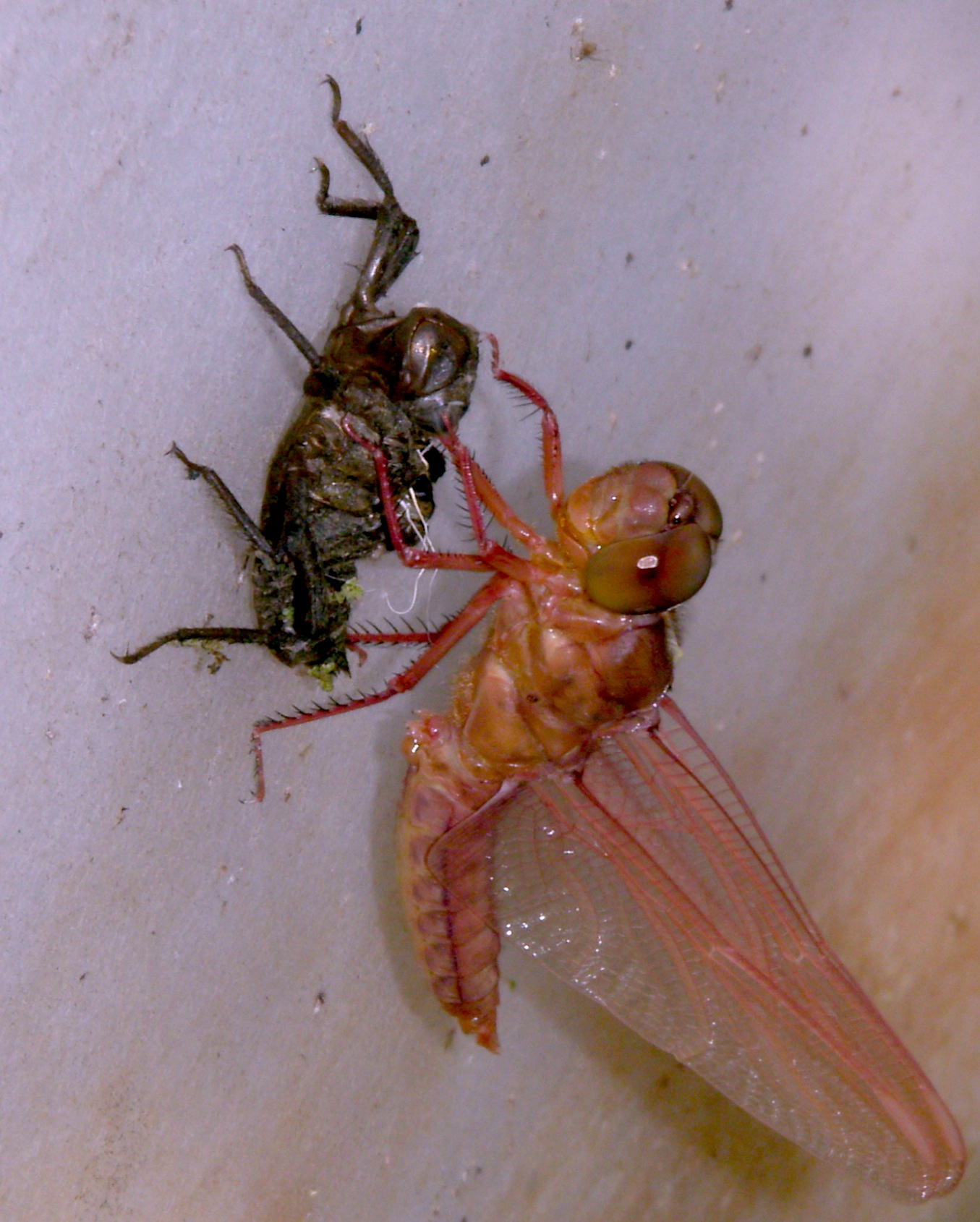 Images Of A Dragonfly Life Cycle